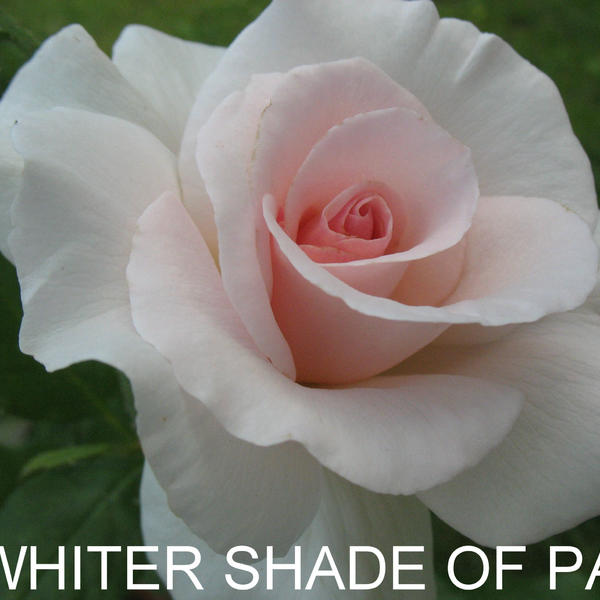 ЧГ-001: WTTR SHD OFPL (A Witter Shade of Pale)