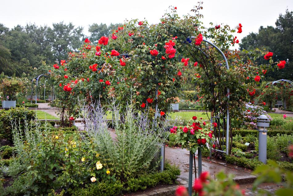 Роза салита фото и описание