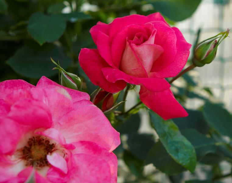Питомник роз гармония сада