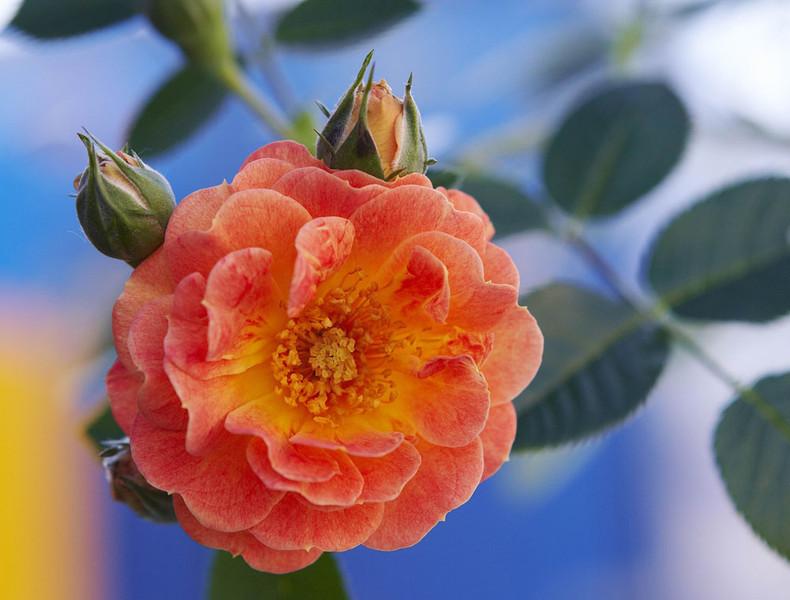 Роза почвопокровная бесси